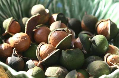 macadamia nuts